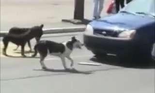כלב מצחיק מעניש נהגים חסרי סבלנות