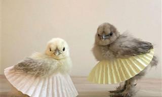 18 תמונות של תרנגולות ואפרוחים בחצאיות טוטו