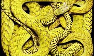 נחשים כמו שמעולם לא ראיתםרוב האנשים מפחדים מנחשים ולא רוצים אפילו להסתכל עליהם. ובכל זאת, נחשים הם עדיין זוחלים מרתקים בצבעים ואורכים שונים.הצלם גואידו מוקפיקו רואה את היופי בנחשים, ומצלם תמונות מדהימות הנראות כמו ציורים.