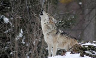 16 עובדות מרתקות ומפתיעות על זאבים